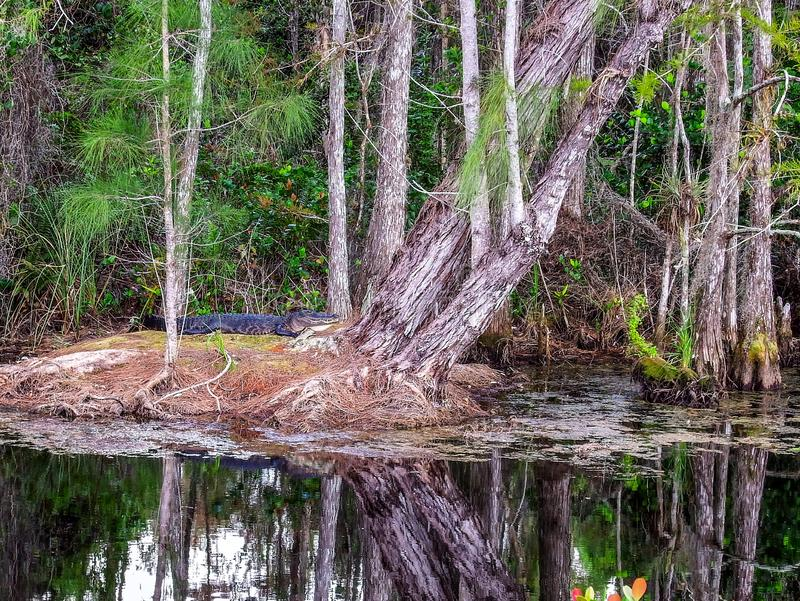Αλλιγάτορας που στηρίζεται επιτόπου του ξηρού εδάφους σε ένα έλος κυπαρισσιών στοκ εικόνα