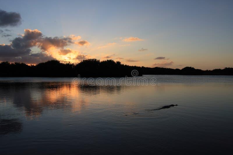 Αλλιγάτορας στη λίμνη Paurotus στο εθνικό πάρκο Everglades, Φλώριδα, στο ηλιοβασίλεμα στοκ εικόνα με δικαίωμα ελεύθερης χρήσης