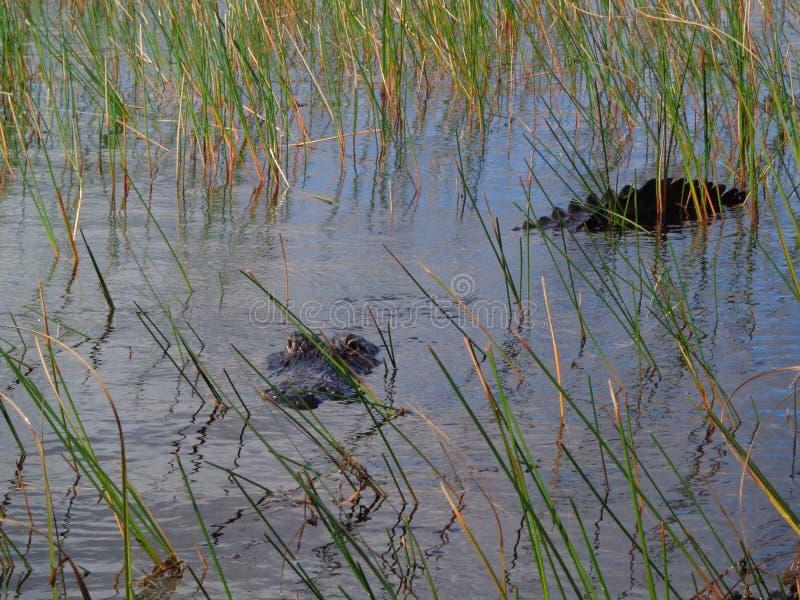 Αλλιγάτορας στο νερό του Everglades στο Μαϊάμι Φλώριδα στοκ εικόνες