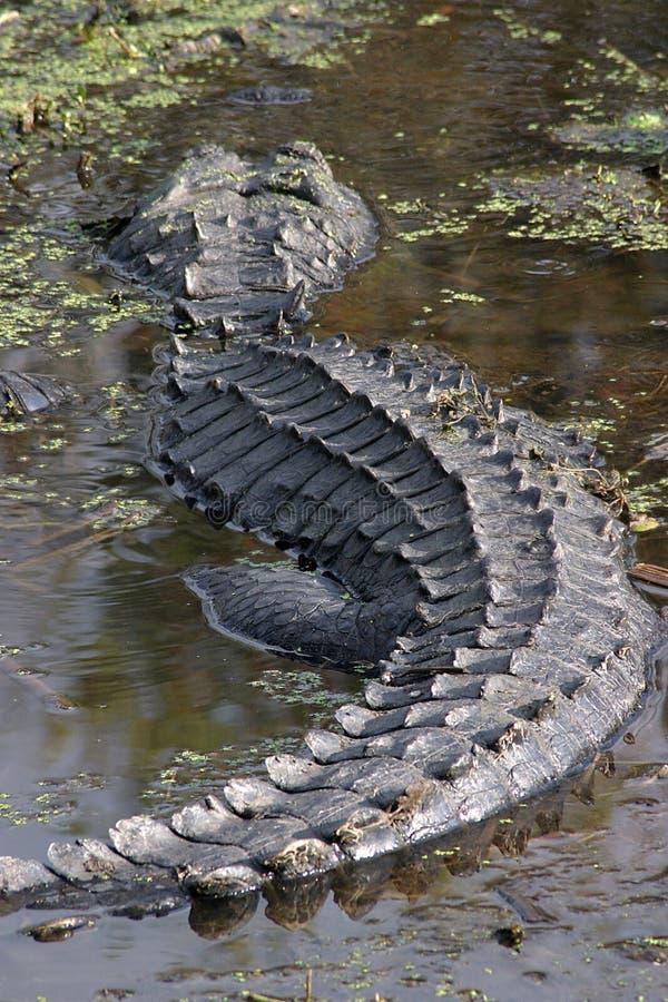 αλλιγάτορας στοκ εικόνες