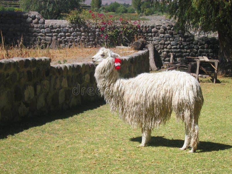 αλπάκα Περού στοκ εικόνα με δικαίωμα ελεύθερης χρήσης
