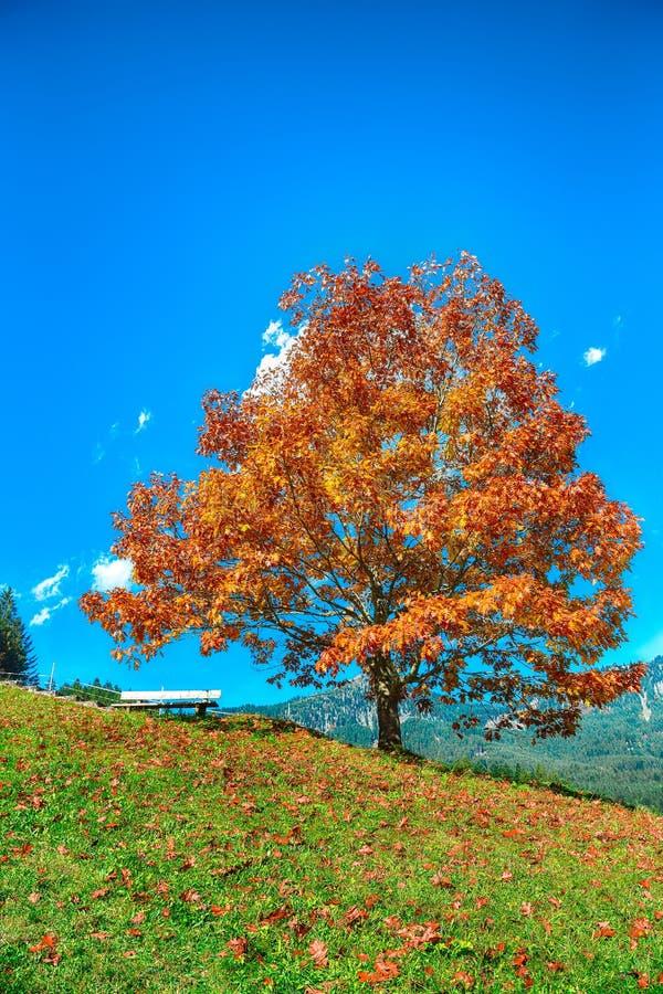 Αλπικοί πράσινοι τομείς και μόνο δέντρο κοντά στο χωριό Gosau στο φθινόπωρο στοκ εικόνα με δικαίωμα ελεύθερης χρήσης