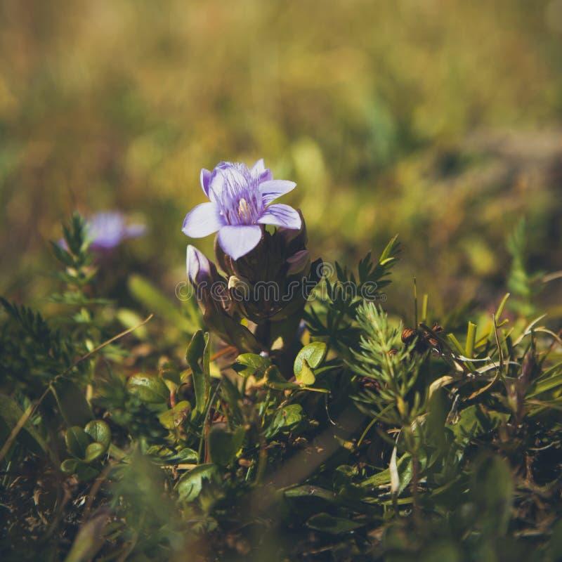 Αλπικό λουλούδι, γεντιανά μπλε λουλούδια dahurica στοκ φωτογραφία με δικαίωμα ελεύθερης χρήσης