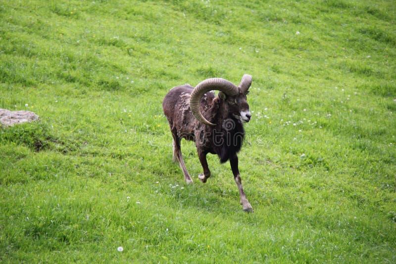 Αλπικό τρέξιμο Aries ελαφόκερων Αιγοκέρου στοκ φωτογραφίες με δικαίωμα ελεύθερης χρήσης