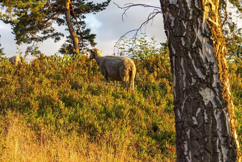 Αμέσως πριν από το ηλιοβασίλεμα η περιοχή με τα πρόβατα μεταξύ των θάμνων βακκινίων, παίρνει ένα κιτρινωπό χρώμα στοκ εικόνα