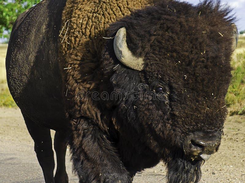 Αμερικάνικος Βίσον Φωτογραφημένος στο Ανατολικό Κολοράντο στοκ φωτογραφίες