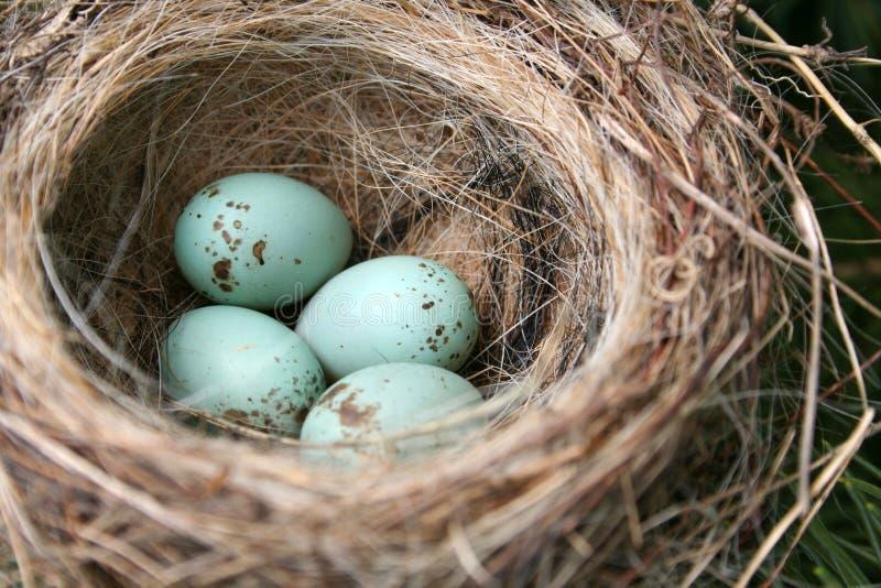 αμερικανικά αυγά Robin στοκ εικόνες