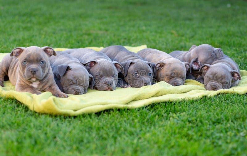 Αμερικανικά κουτάβια μπουλί αποκοιμούνται σε ένα χαλί σε ένα πάρκο στοκ φωτογραφία