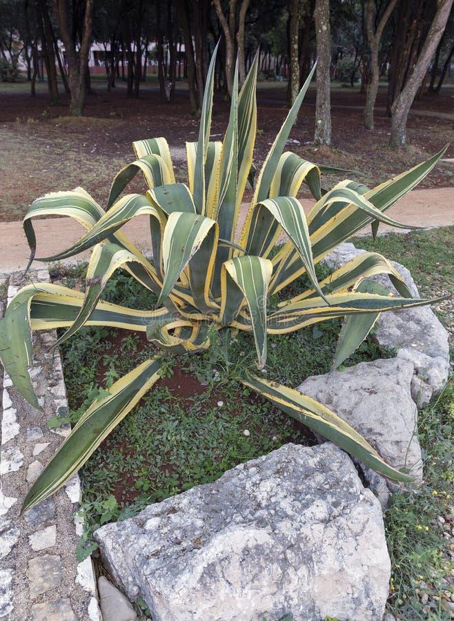 Αμερικανικές εγκαταστάσεις aurea marginata αγαύης στοκ εικόνα με δικαίωμα ελεύθερης χρήσης