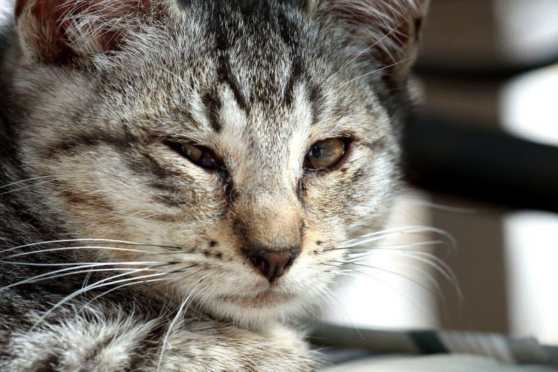 αμερικανική γάτα στοκ φωτογραφία με δικαίωμα ελεύθερης χρήσης