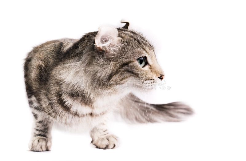 αμερικανική μπούκλα γατών στοκ εικόνα με δικαίωμα ελεύθερης χρήσης