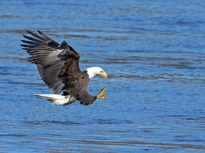 Download Αμερικανική φαλακρή αρπαγή ψαριών αετών Στοκ Εικόνα - εικόνα από καταφύγιο, έλος: 62707361