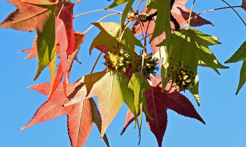 Αμερικανικοί Liquidambar sweetgum φύλλα δέντρων styraciflua και λοβός σπόρου S στοκ εικόνες