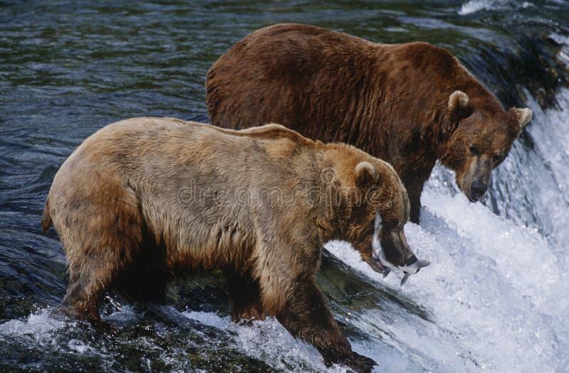 ΑΜΕΡΙΚΑΝΙΚΟ Αλάσκα Katmai εθνικό πάρκο δύο καφετιές αρκούδες που πιάνουν το σολομό στον ποταμό επάνω από την πλάγια όψη καταρρακτώ στοκ φωτογραφία με δικαίωμα ελεύθερης χρήσης