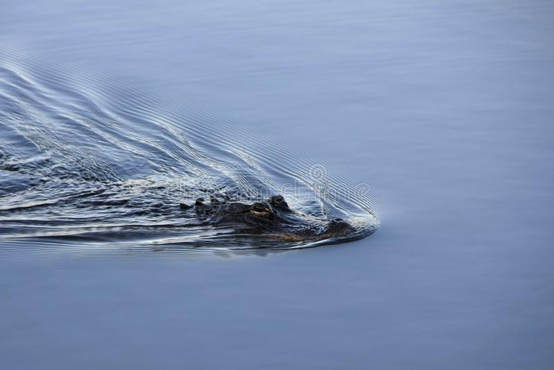 Αμερικανικός αλλιγάτορας στο εθνικό πάρκο Everglades, Φλώριδα στοκ φωτογραφίες με δικαίωμα ελεύθερης χρήσης
