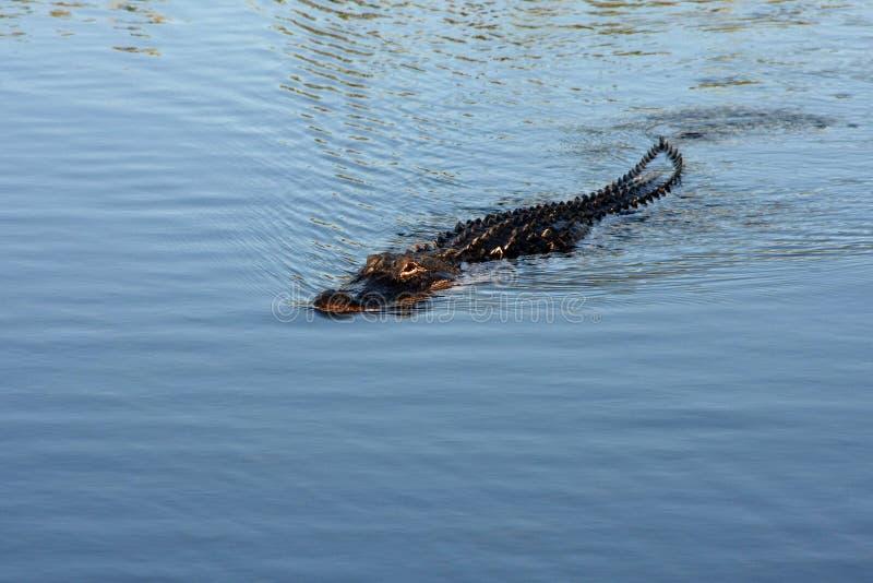 Αμερικανικός αλλιγάτορας στο εθνικό πάρκο Everglades, Φλώριδα στοκ εικόνα με δικαίωμα ελεύθερης χρήσης