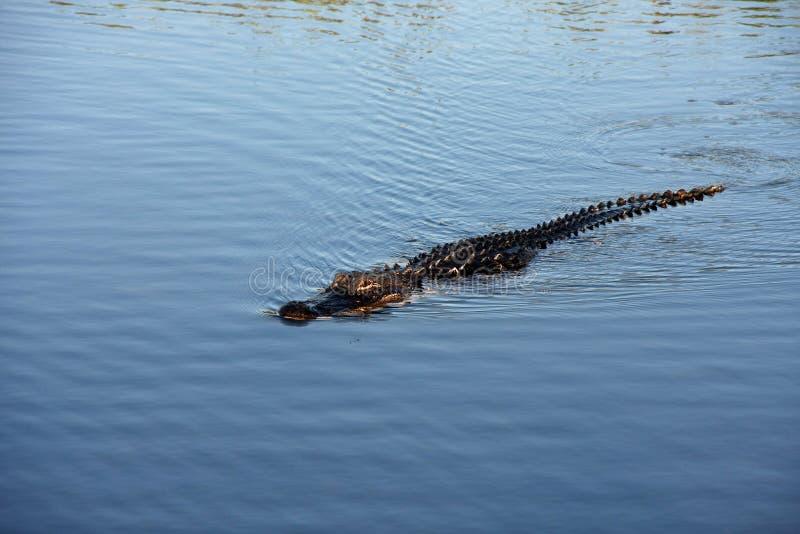 Αμερικανικός αλλιγάτορας στο εθνικό πάρκο Everglades, Φλώριδα στοκ φωτογραφία με δικαίωμα ελεύθερης χρήσης