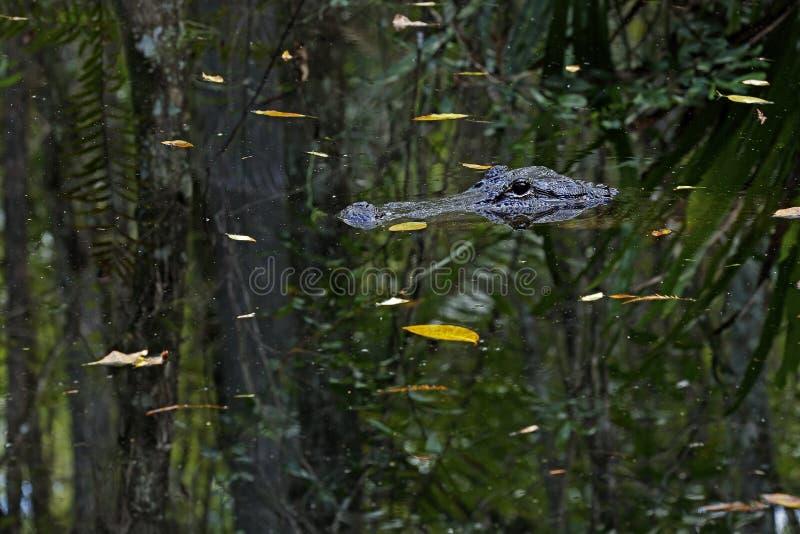 Αμερικανικός αλλιγάτορας στο κρατικό πάρκο κονσερβών σκελών Fakahatchee, Φλώριδα στοκ φωτογραφίες