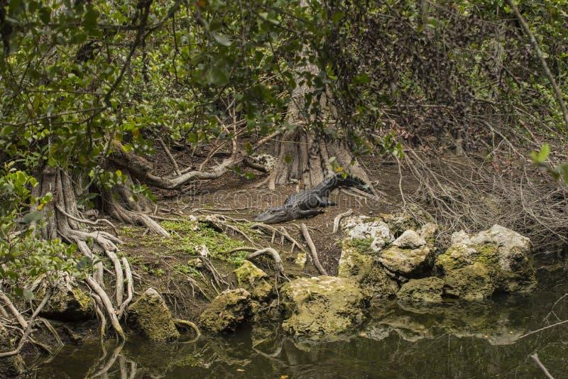 Αμερικανικός αλλιγάτορας στοκ φωτογραφία