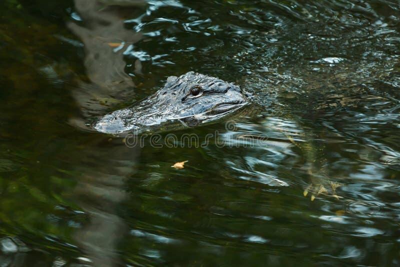 Αμερικανικός αλλιγάτορας στη Φλώριδα Everglades στοκ φωτογραφία