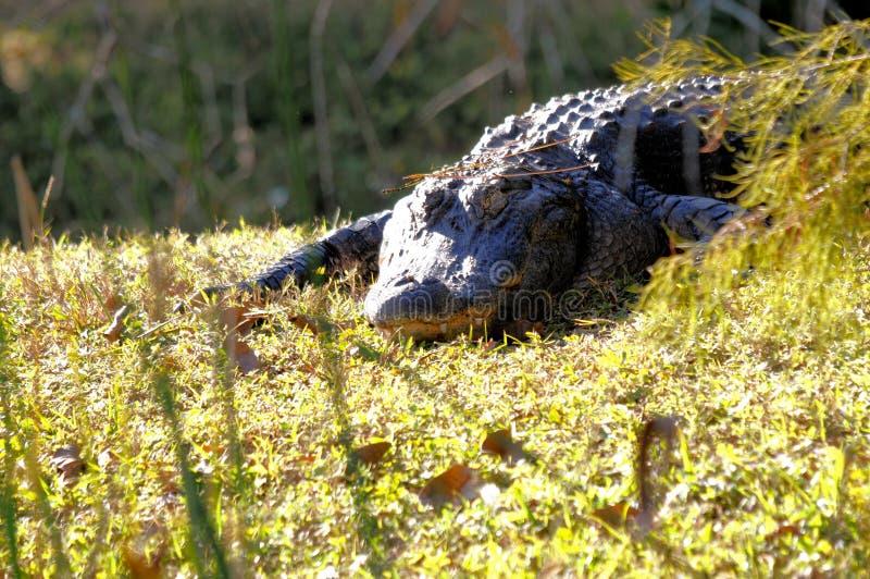 Αμερικανικός αλλιγάτορας στους υγρότοπους στη Φλώριδα στοκ εικόνες