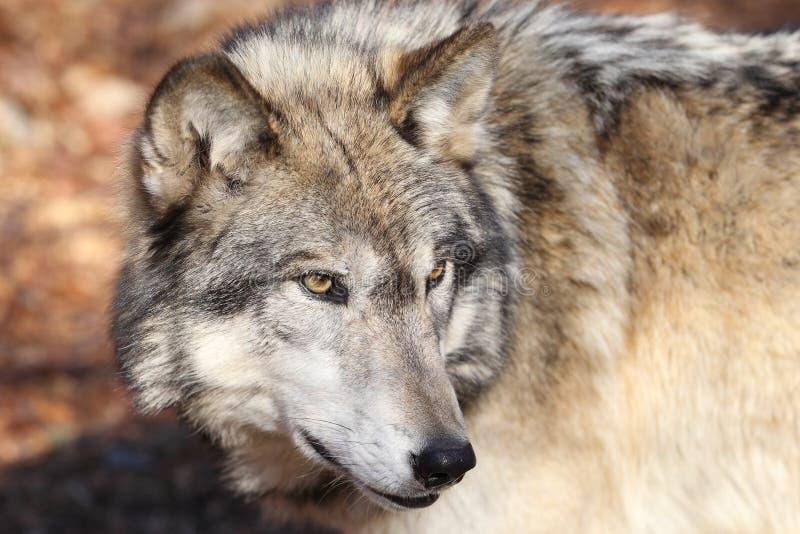 αμερικανικός γκρίζος βόρειος λύκος στοκ εικόνες με δικαίωμα ελεύθερης χρήσης