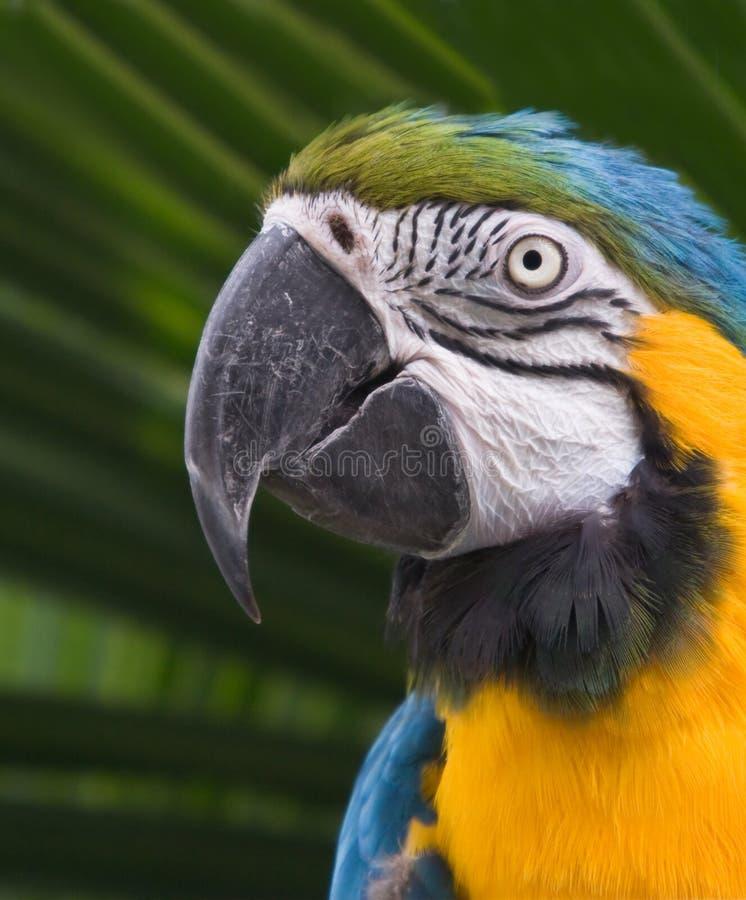 αμερικανικός ζωηρόχρωμος νότος macaw στοκ εικόνα