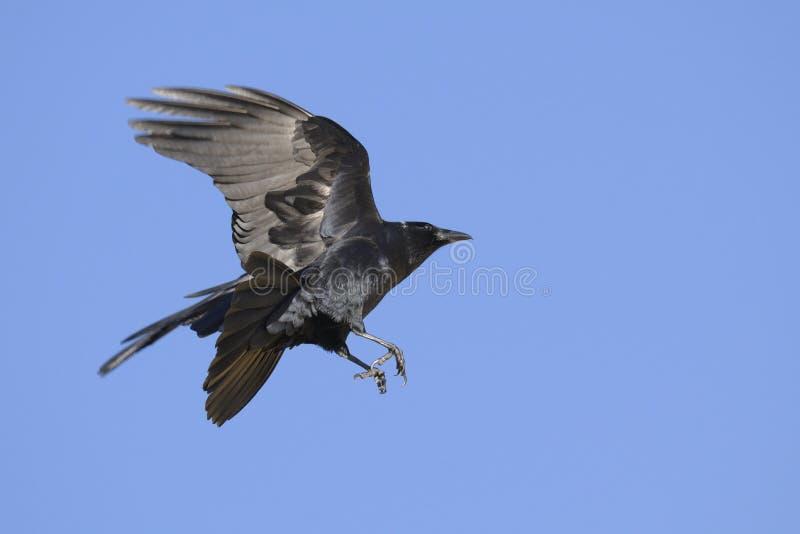 αμερικανικός κόρακας corvus brachyrh στοκ εικόνα