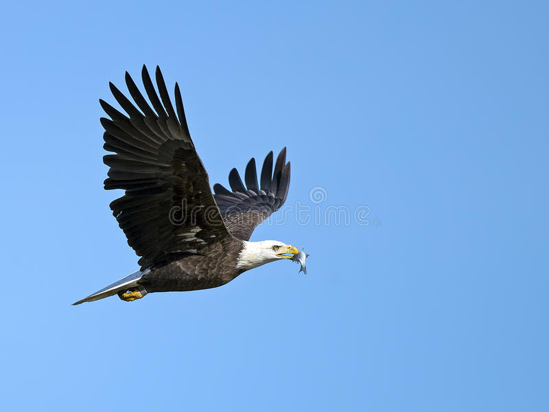 Download Αμερικανικός φαλακρός αετός με τα ψάρια Στοκ Εικόνα - εικόνα από στόμα, προσγείωση: 62707353