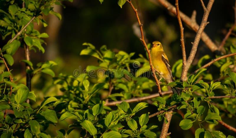 αμερικανικός finch χρυσός στοκ φωτογραφία με δικαίωμα ελεύθερης χρήσης