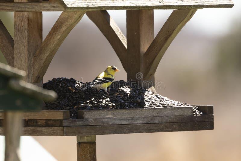 Αμερικανικό βορειοαμερικανικό πουλί tristis Spinus goldfinch στοκ φωτογραφία με δικαίωμα ελεύθερης χρήσης