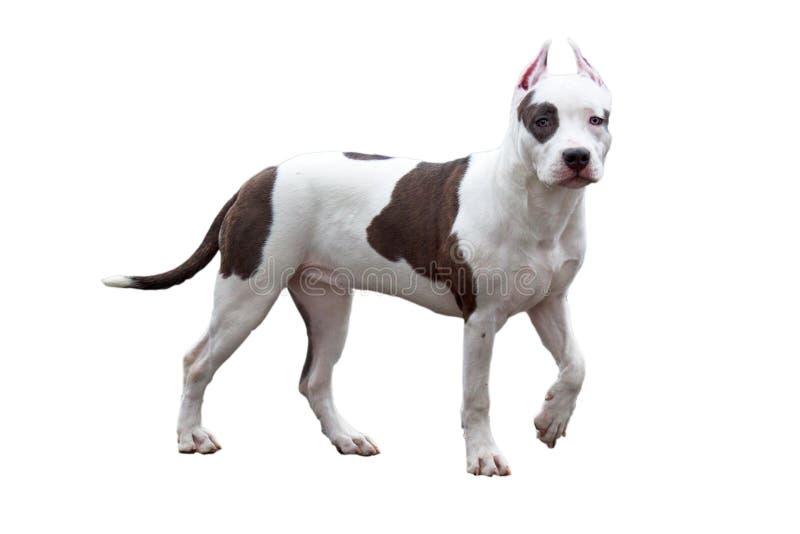 Αμερικανικό κουτάβι τεριέ Staffordshire που απομονώνεται σε ένα άσπρο υπόβαθρο Ζώα της Pet στοκ φωτογραφίες με δικαίωμα ελεύθερης χρήσης