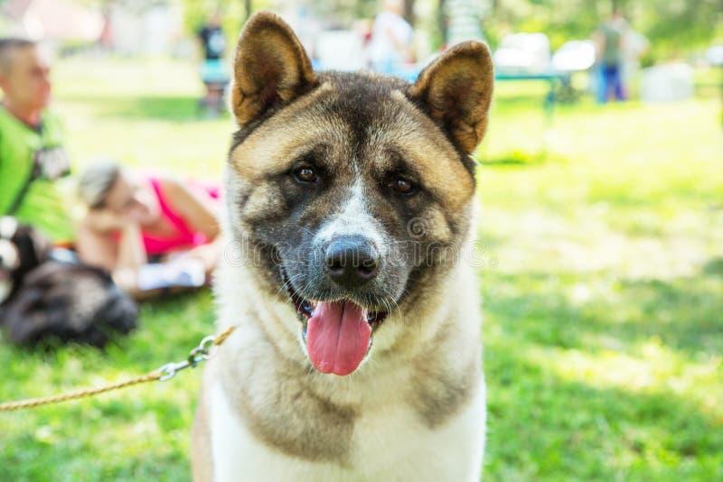 Αμερικανικό πορτρέτο σκυλιών κουταβιών akita υπαίθριο στο πάρκο στοκ εικόνες