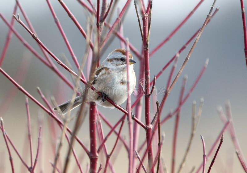 Αμερικανικό πουλί σπουργιτιών δέντρων στην περιοχή αναψυχής τριών βαλανιδιών στοκ φωτογραφία