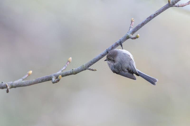 Αμερικανικό πτηνό στοκ φωτογραφίες με δικαίωμα ελεύθερης χρήσης