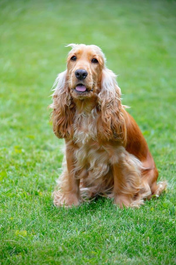 Αμερικανικό σκυλί σπανιέλ κόκερ στο πάρκο στοκ φωτογραφία με δικαίωμα ελεύθερης χρήσης