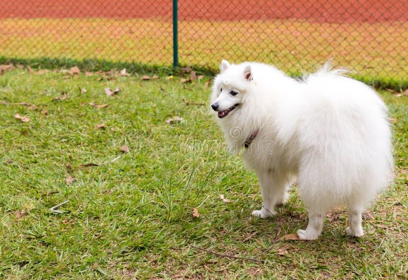 αμερικανικό σκυλί Εσκιμ στοκ φωτογραφίες