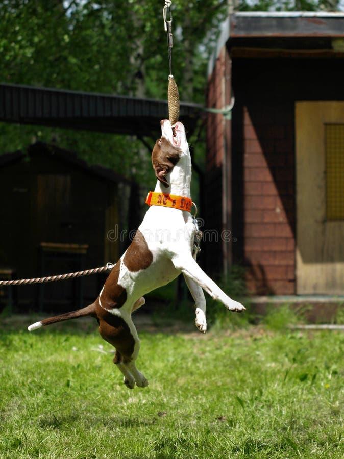 Αμερικανικό τεριέ pitbull στοκ εικόνα με δικαίωμα ελεύθερης χρήσης