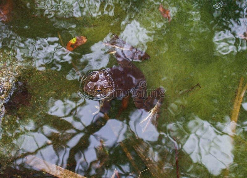 Αμερικανικό Bullfrog που επιπλέει στο έλος στοκ φωτογραφίες