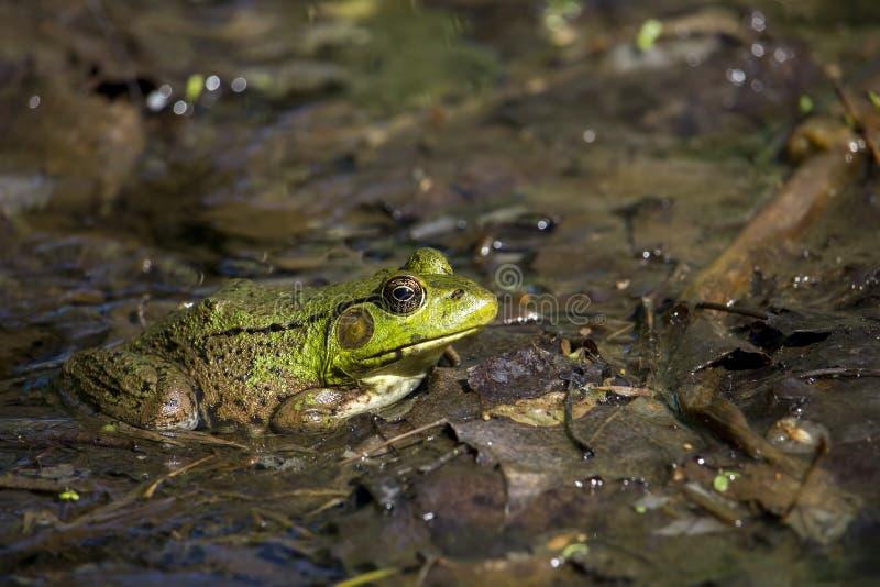αμερικανικό bullfrog στοκ εικόνες