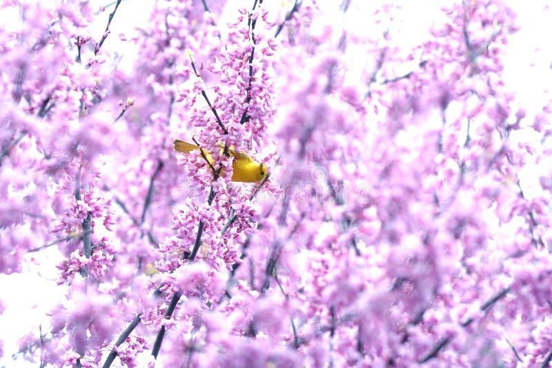 Αμερικανικό Goldfinch που σκαρφαλώνει σε ένα ανθίζοντας δέντρο Redbud στοκ εικόνα