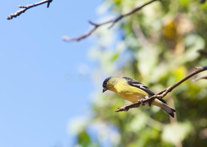 Αμερικανικό Goldfinch στον κλάδο δέντρων στοκ φωτογραφία