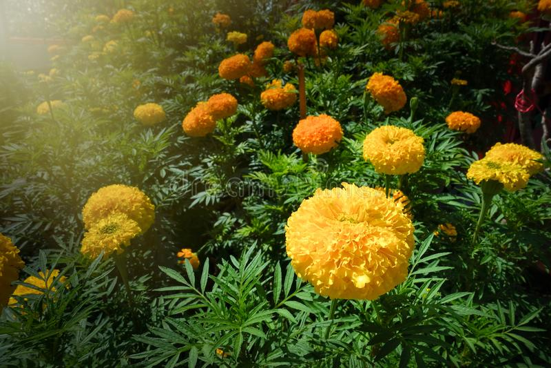 Αμερικανικό marigold erecta Tagetes, αφρικανικό marigold στοκ εικόνα