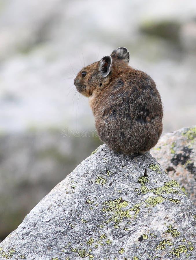 Αμερικανικό Pika σε έναν βράχο Στοκ Εικόνες