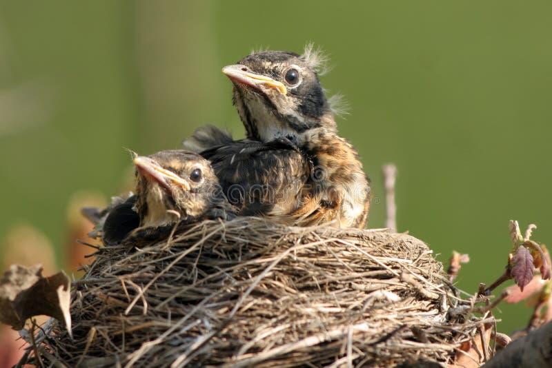 αμερικανικό turdus του Robin migratorius στοκ φωτογραφία με δικαίωμα ελεύθερης χρήσης