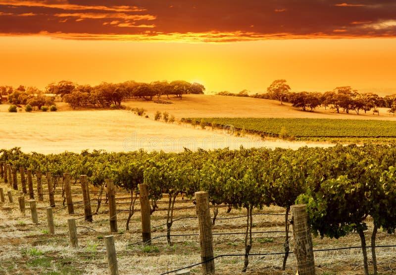αμπελώνας ηλιοβασιλέμα&ta στοκ εικόνα