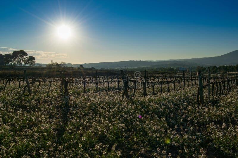 Αμπελώνας και άσπρα λουλούδια Candytuft Iberis πικρό στην Ισπανία στοκ φωτογραφία με δικαίωμα ελεύθερης χρήσης