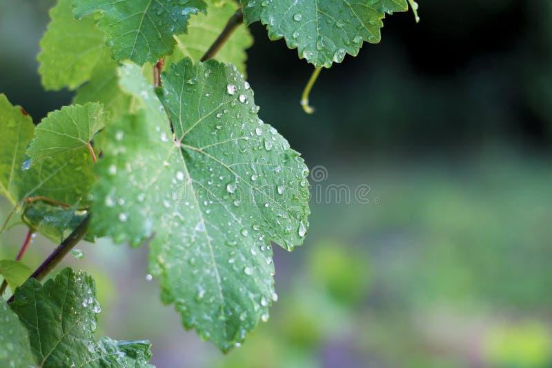 Αμπελώνας μετά από τη βροχή Κλείστε επάνω τα φύλλα σταφυλιών με τις πτώσεις νερού στοκ εικόνες με δικαίωμα ελεύθερης χρήσης