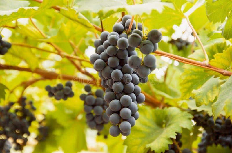 Αμπελώνας με τη σκοτεινή δέσμη σταφυλιών κρασιού στην άμπελο με τα πράσινα φύλλα στον ήλιο Συγκομιδή σταφυλιών φθινοπώρου στοκ εικόνα με δικαίωμα ελεύθερης χρήσης