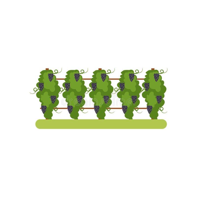 Αμπελώνας με τις δέσμες σταφυλιών, διανυσματική απεικόνιση φυτειών σταφυλιών σε ένα άσπρο υπόβαθρο απεικόνιση αποθεμάτων
